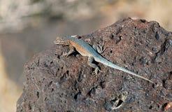 在火玄武岩岩石的西部边的blotched蜥蜴 免版税库存图片
