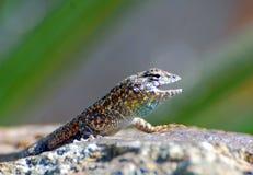 在火玄武岩岩石的西部边的blotched蜥蜴 库存图片