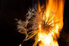 在火的一个大蒲公英 免版税库存照片