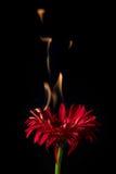 在火的红色大丁草 库存图片