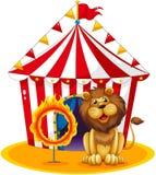 在火箍旁边的一头狮子在马戏 免版税库存照片