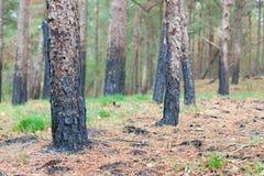 在火被烧的树特写镜头以后的森林 库存照片