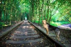 在火车轨道的狗在森林里 库存图片