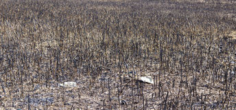 在火以后的干草原 库存图片