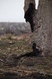 在火以后的死的树 烧, Ñ 在有雾的春天早晨harred在被烧焦的领域的树干 免版税图库摄影