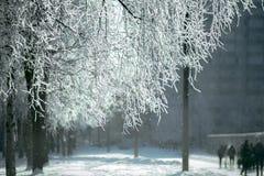 在灰白的Birchs branchs 免版税库存图片