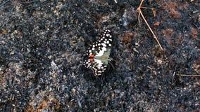 在灰的蝴蝶 免版税库存图片