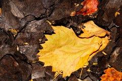 在灰的黄色叶子 免版税库存图片