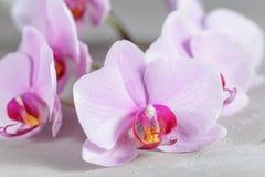 在灰色具体背景的桃红色兰花花 免版税图库摄影