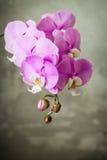 在灰色具体背景的紫色兰花花 库存照片