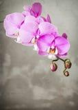 在灰色具体背景的紫色兰花花 免版税图库摄影