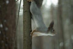 在灰色冬天外套的欧亚红松鼠有耳朵一束的在冬天积雪的森林里在乌拉尔地区 库存照片