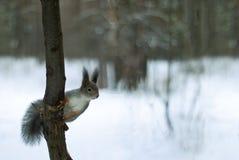 在灰色冬天外套的欧亚红松鼠有耳朵一束的在冬天积雪的森林里在乌拉尔地区 免版税库存图片