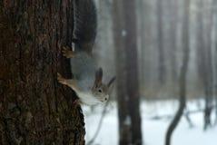 在灰色冬天外套的欧亚红松鼠有耳朵一束的在冬天积雪的森林里在乌拉尔地区 免版税库存照片