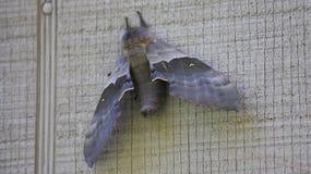 在灰色墙壁上的灰色飞蛾 库存图片