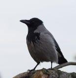 在灰色天空的戴头巾乌鸦 库存图片