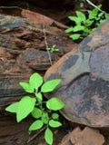 在灰色岩石之间的绿色秀丽 库存图片