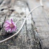 在灰色木纹理背景关闭的一朵淡紫色花Xeranthemum Wabi Sabi, Hygge样式 寂寞,朴素,最小 免版税库存图片