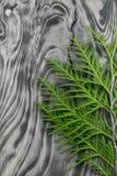 在灰色木背景的金钟柏叶子 库存图片