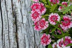 在灰色木头的红色和白花 库存照片