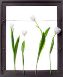在灰色框架的空白郁金香花 免版税库存照片