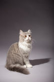 小猫苏格兰平直的品种 免版税库存照片