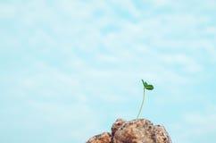 在灰色的新鲜的绿色叶子生长形式石头,蓝天背景 环境和新的生活的生物草标志 生态 免版税库存照片