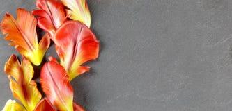 在灰色石背景的密集红色鹦鹉郁金香瓣 库存图片