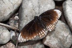 在灰色石背景的美丽的棕色蝴蝶 免版税库存图片