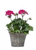 在灰色篮子的天竺葵花,隔绝在白色背景 免版税库存图片