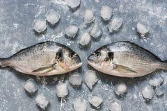 在灰色背景与冰块,顶视图的生鱼 两条dorado鱼看看彼此 库存照片