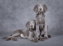 在灰色背景前面的Weimaraner小狗 库存照片