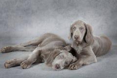 在灰色背景前面的Weimaraner小狗 免版税库存照片
