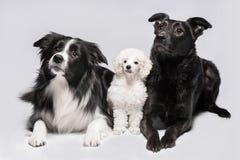 在灰色背景的三条狗,博德牧羊犬、长卷毛狗和混合 库存图片