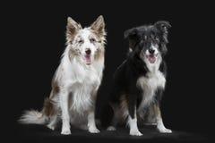在灰色背景的两只博德牧羊犬 免版税库存照片