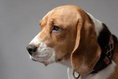 在灰色背景的小猎犬 免版税图库摄影
