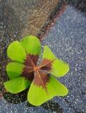 在灰色背景的幸运的新鲜的绿色四叶子三叶草 库存照片