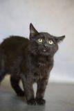 在灰色背景的担心的黑小猫 库存图片