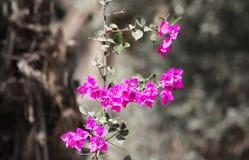 在灰色背景的桃红色野生植物 免版税图库摄影