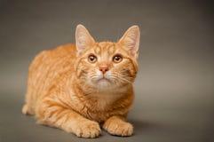 在灰色背景的橙色虎斑猫 库存图片