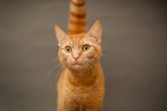 在灰色背景的橙色虎斑猫 免版税图库摄影