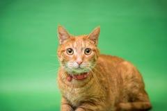 在灰色背景的橙色虎斑猫 图库摄影