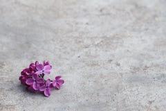 在灰色背景的淡紫色花 免版税库存图片