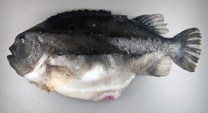 在灰色背景的疙瘩鱼 库存图片