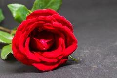在灰色背景的红色玫瑰 有天鹅绒瓣的美丽的开花 与文本空间的红色花横幅模板 免版税库存图片