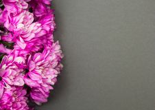 在灰色背景的菊花花 免版税图库摄影