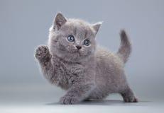 在灰色背景的蓝色英国小猫 库存照片
