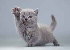 在灰色背景的蓝色英国小猫 免版税图库摄影