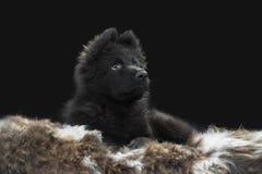 在灰色背景的逗人喜爱的矮小的德国牧羊犬狗小狗 库存照片