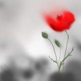 在灰色背景的鸦片花开花的红色 数字式手绘画 免版税库存图片